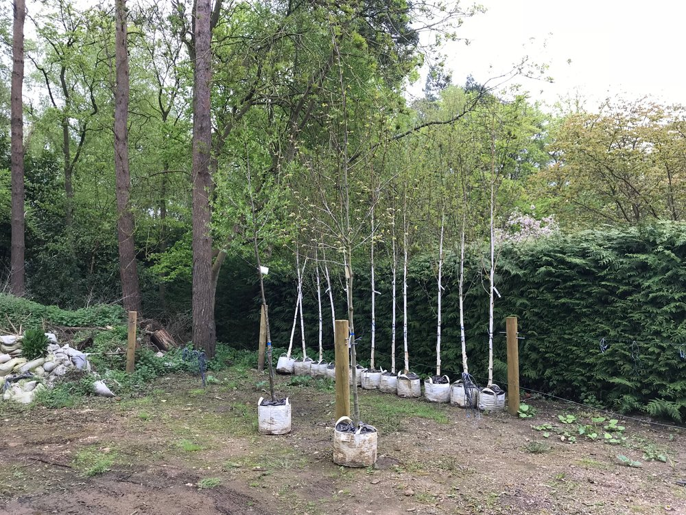 Alder and Plane trees in the foreground and Birch trees in the background in the Borough Council's nursery compound, waiting to be planted in their permanent sites, eg. Kettlewell Lane and Austin Street.  Picture Richard Fisher BCKLWN.