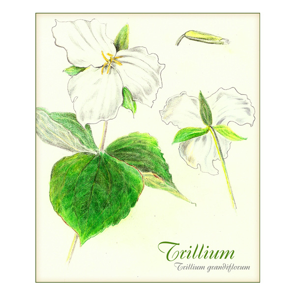 Trillium Drawing by Patti Cauldwell