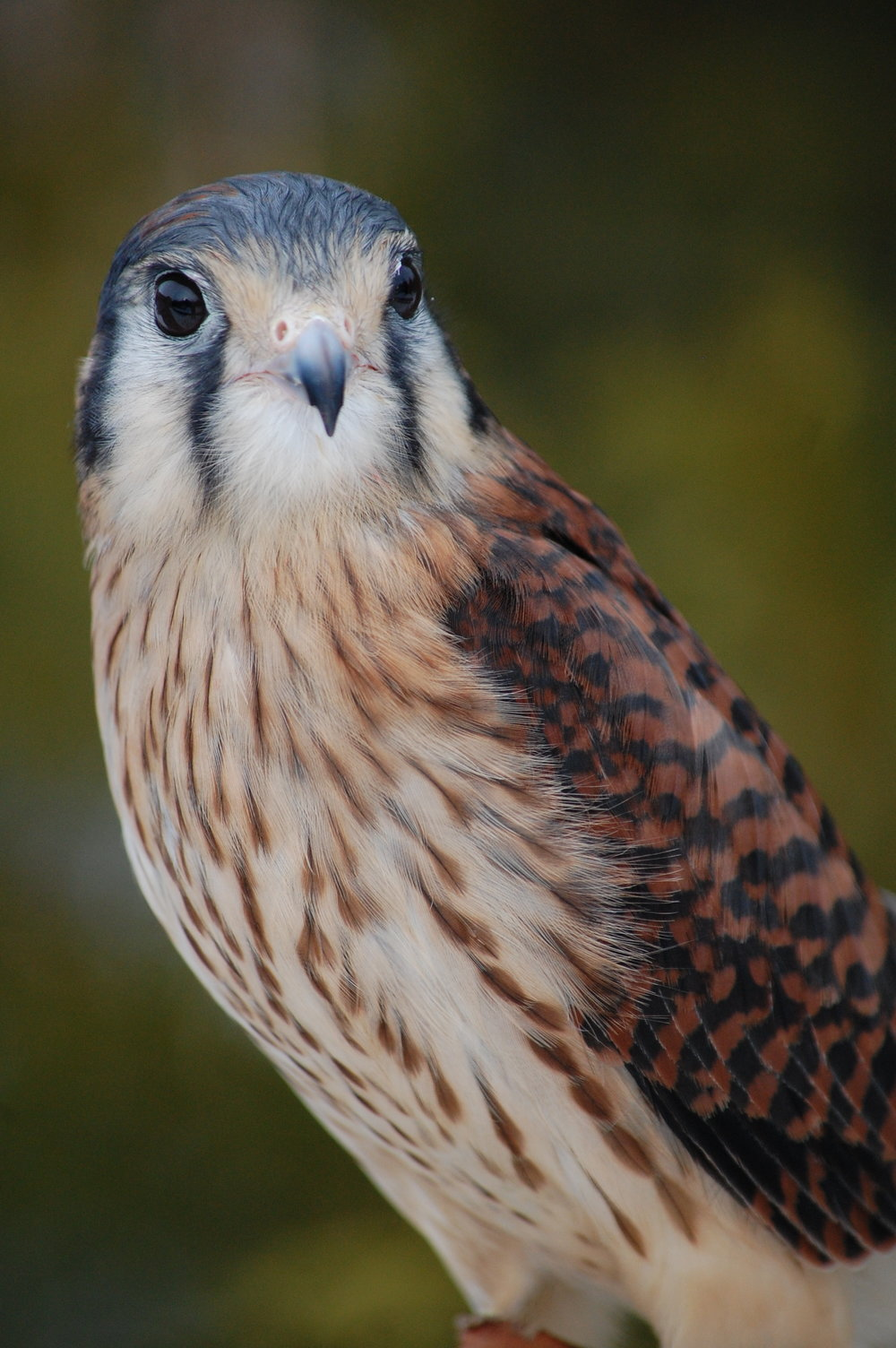 Female Kestrel (1).JPG