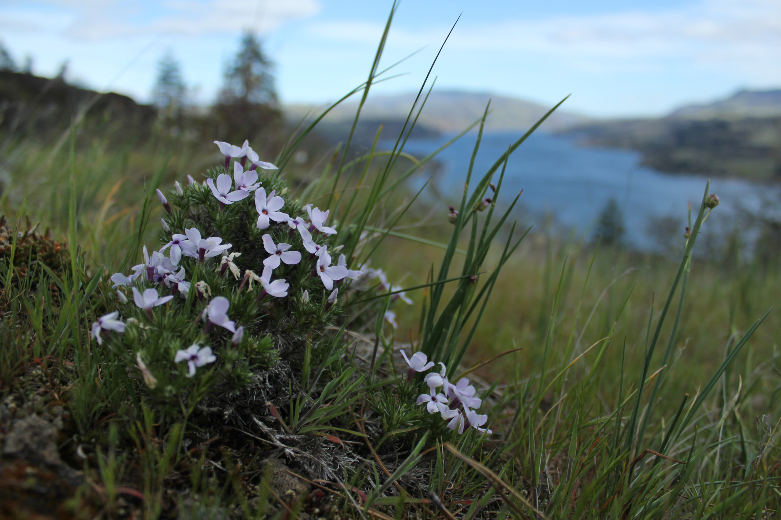 This, I think, is a wildflower called Hood's phlox, phlox hoodii. It's one of the earliest wildflowers to bloom in the Gorge.