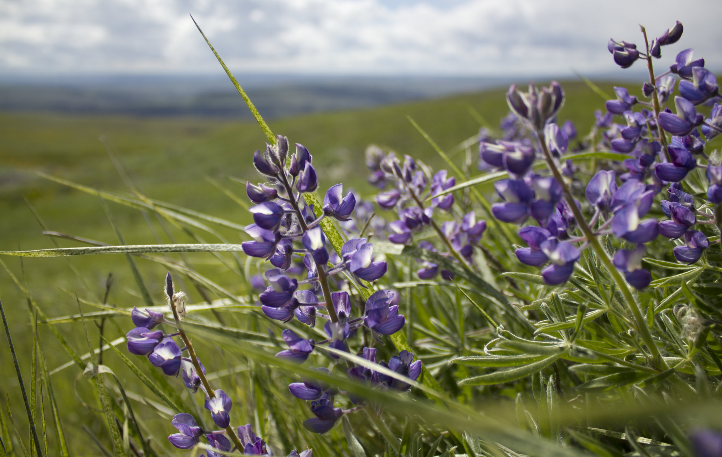 The Columbia Gorge Broadleaf Lupine.