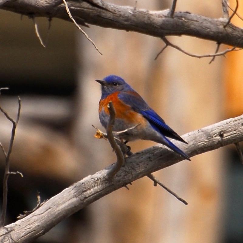 gk-western-bluebird.jpg