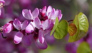 cercis occidentalis flower