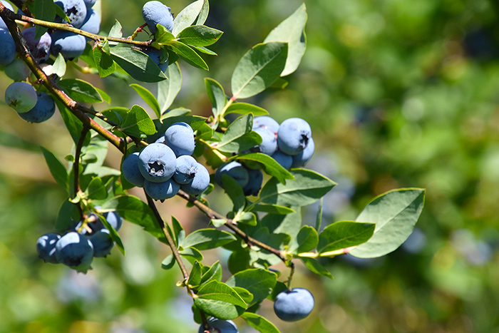 blueberry-season-indiana.jpg