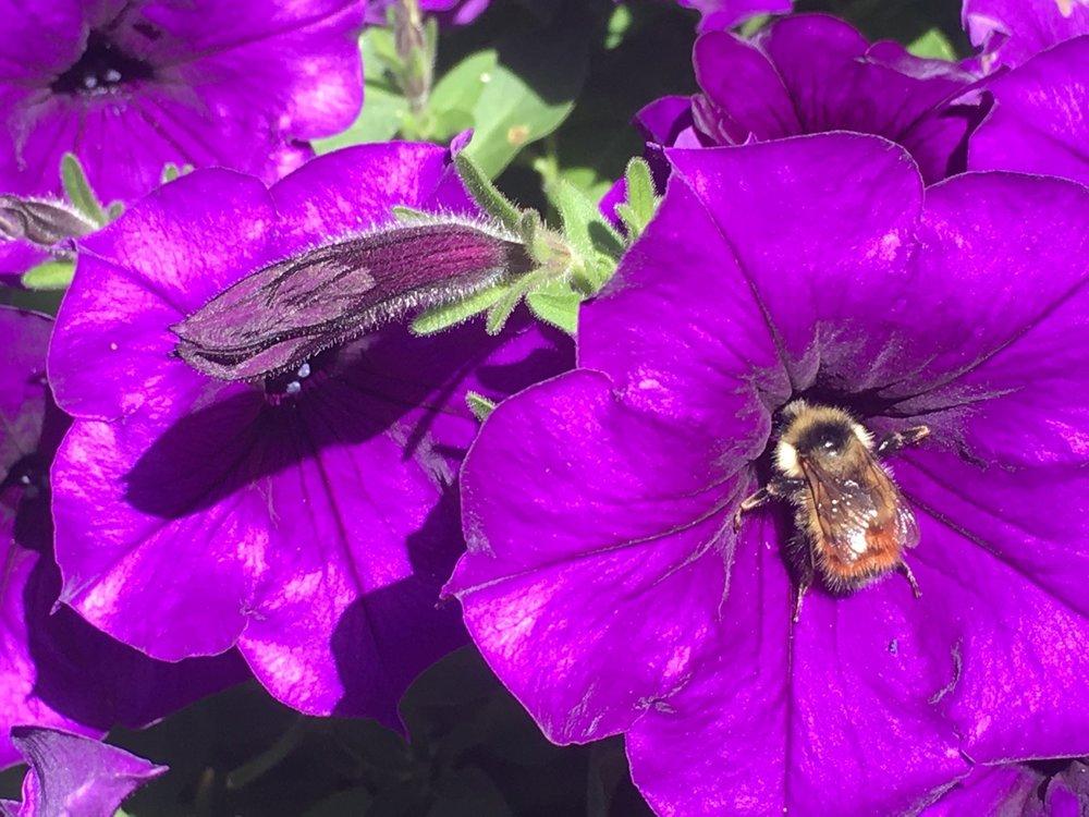 purple bee.jpg