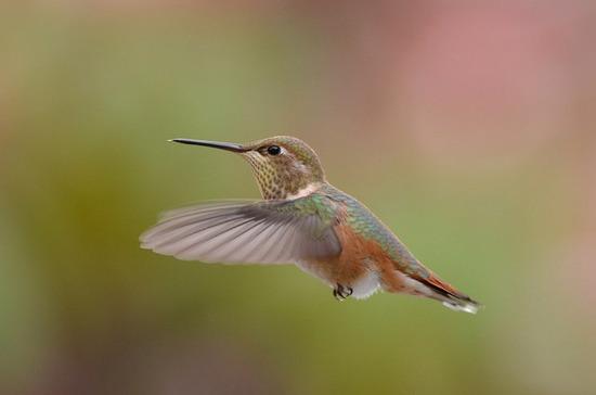 Hummingbird, William  Stortz.jpg