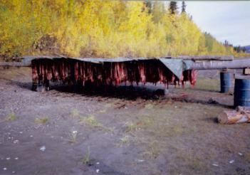 Salmon drying on a rack, Tanana River