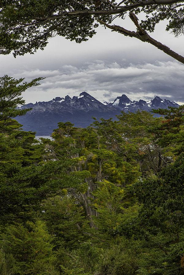 Southern Beech trees and Cabo de Hornos - Ushuaia, Tierra del Fuego, Argentina