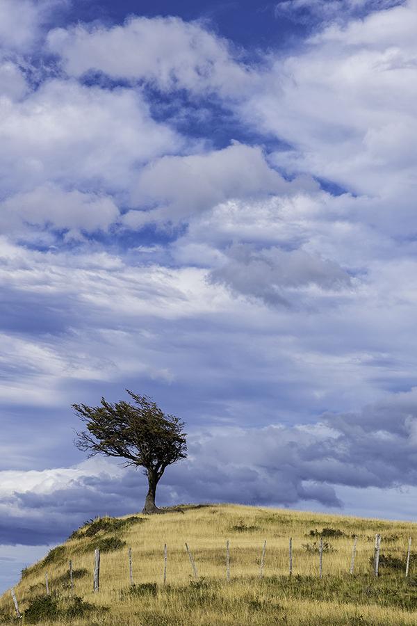 Windswept Tree - Tierra del Fuego