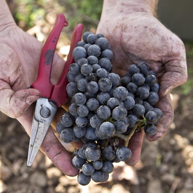 MAGULA - Úcta k tradícii, žvot v generáciach, spoluúčasť na zázraku stvorenia a viera v budúcnosť našej krásnej planéty, to sú hodnoty, ktoré ovplyvňujú náš každodenný život.Preto sme nadviazali na rodinnú tradíciu z roku 1931, preto v našom rodinnom vinárstve spolupracujú tri generácie apreto pestujeme vinič a ďálšie plodiny bez použitia herbicídov, pesticídov a systémových chemických prípravkov. Veríme, že hrozno samo vydá zo seba to najlepšie, my mu poskytujeme iba pokoj a čas, abyvo víne mohlo naplno prejaviť odrodové charakteristiky a jedinečný terroir Ružovej a Vlčej doliny. Snažíme sa o rovnováhu, harmóniu a autentickosť, ktoré možno nájsť aj v našich vínach.