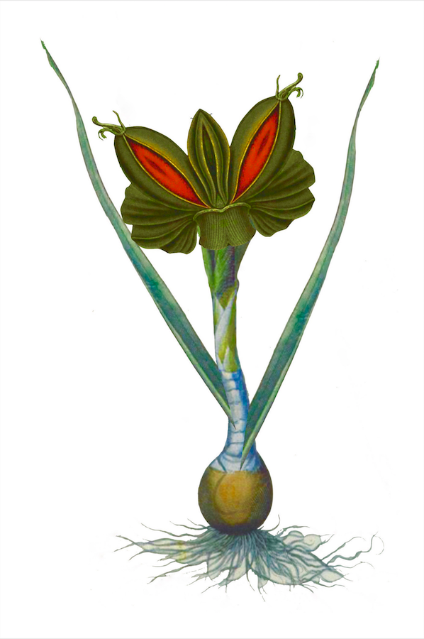 A thick-stemmed plant grows from a bulb. The illustrated plant is similar to a Venus flytrap, but without the hairs. The plant is green with a deep red interior.
