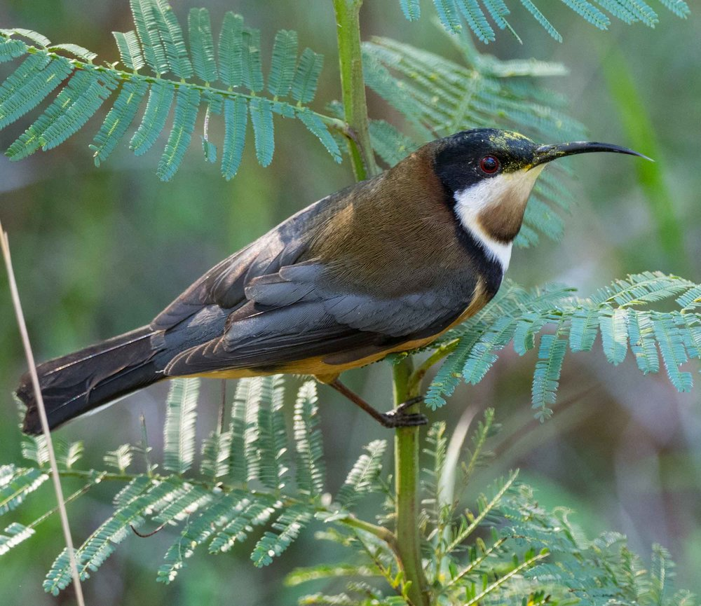 Eastern Spinebill (adult male)