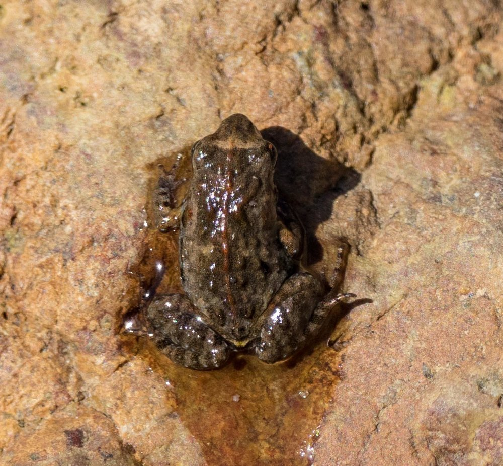 A Clicking Froglet froglet - exploring the terrestrial side of his amphibious world.