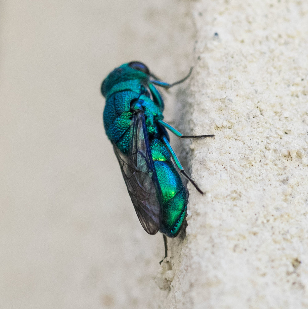 Cuckoo Wasp (female)