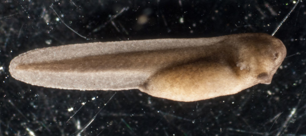 This embryo is 24 hours older than the previous one. Clear fins are now evident on the lengthening tail. The darker central area of the tail contains the spinal cord, surrounded by V-shaped muscle blocks. External gills have now developed.