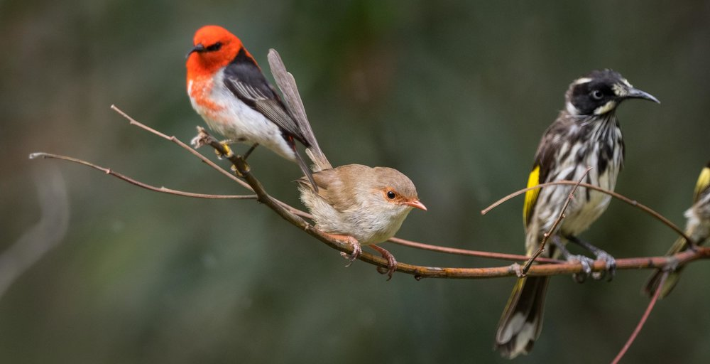 Scarlet Honeyeater, Superb Fairy-wren, New Holland Honeyeater