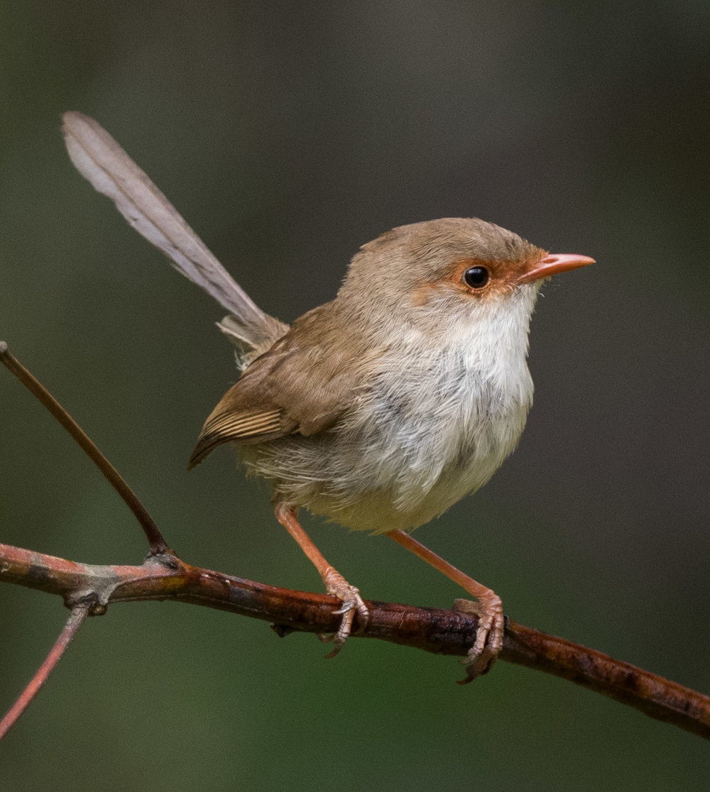 Superb Fairy-wren (juvenile)