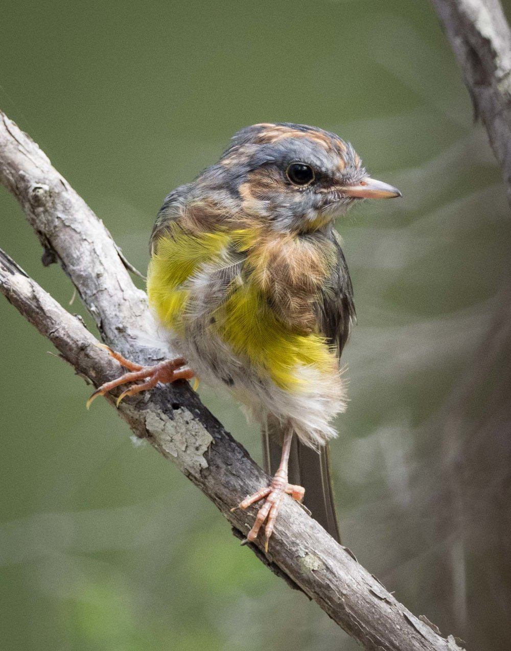 Eastern Yellow Robin (immature)