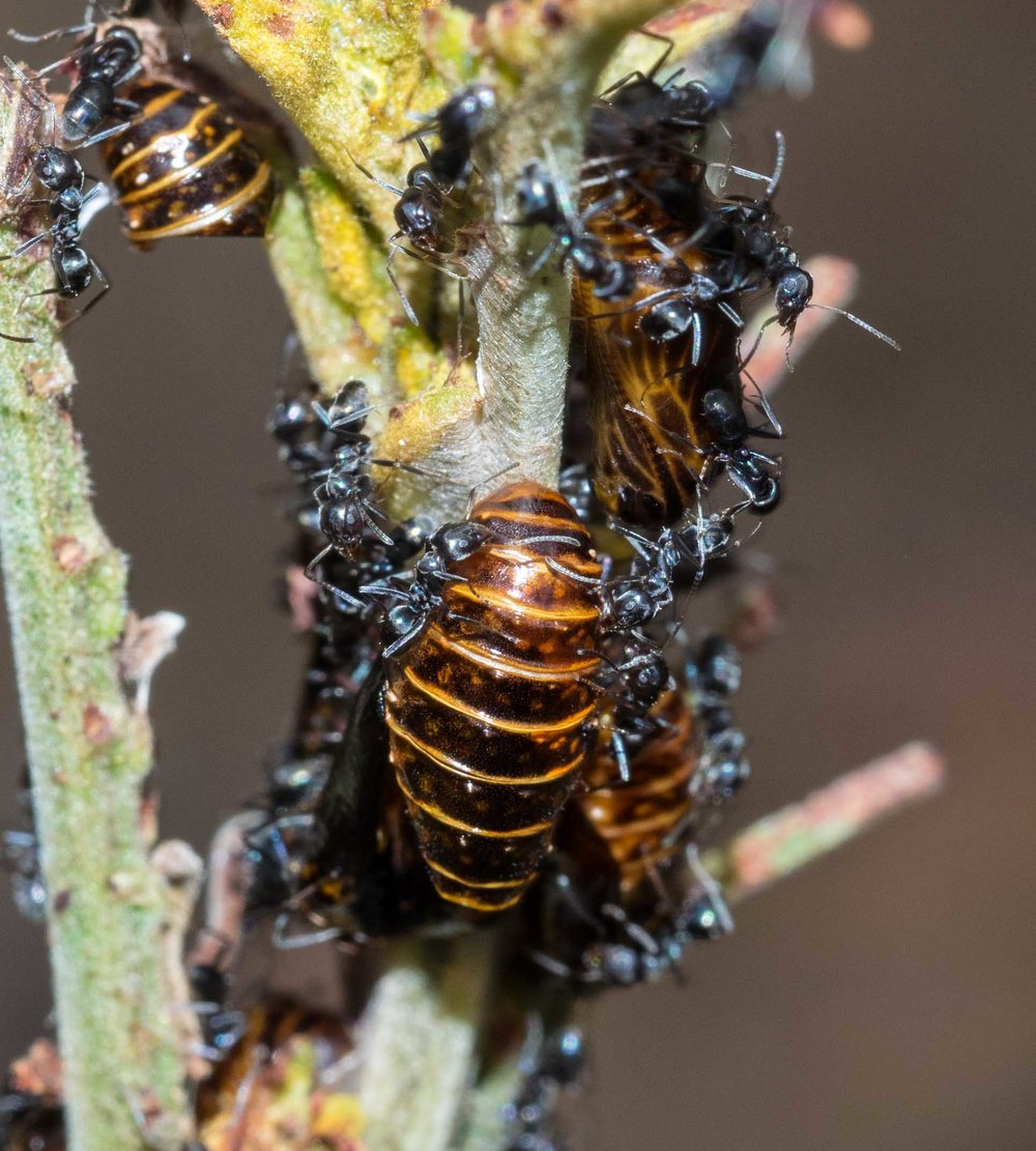 Jalmenus  pupae attended by ants