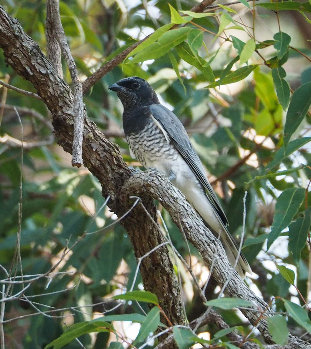 White-bellied Cuckoo-shrike (dark morph)