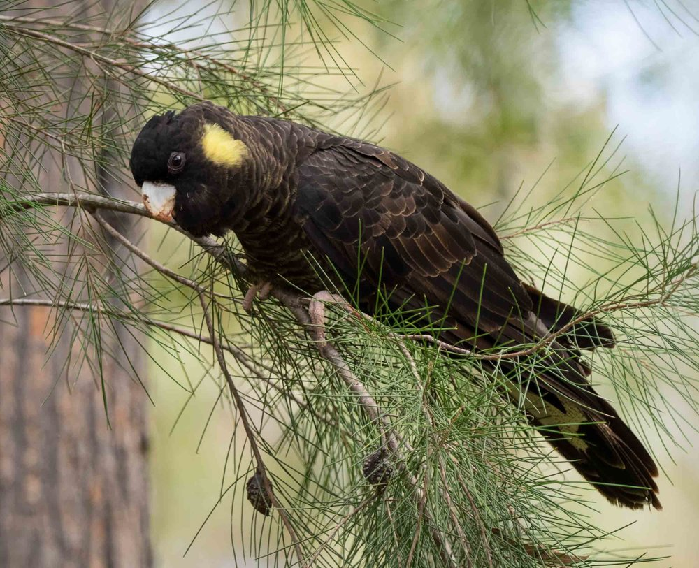 Yellow-tailed Black-Cockatoo (female)