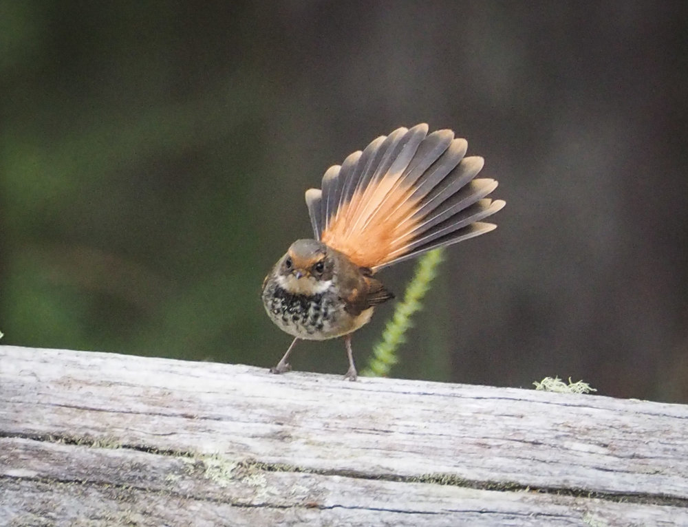 Rufous Fantail