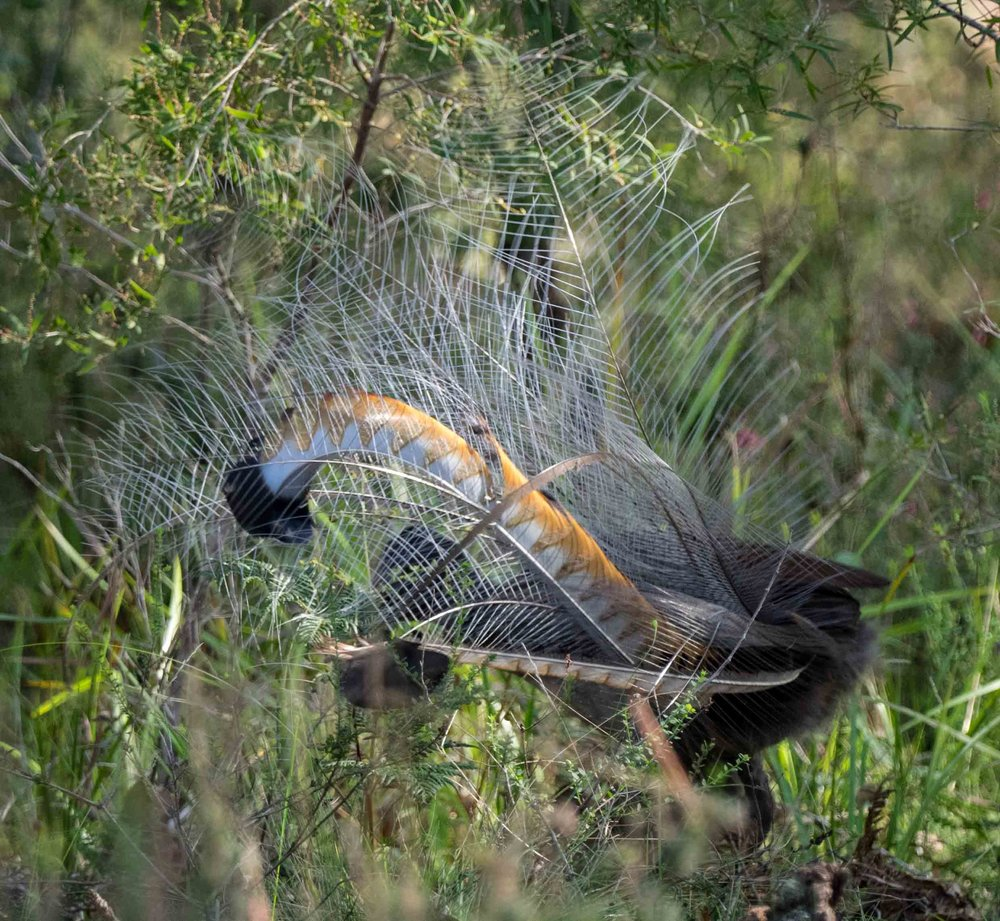 Superb Lyrebird (adult male)