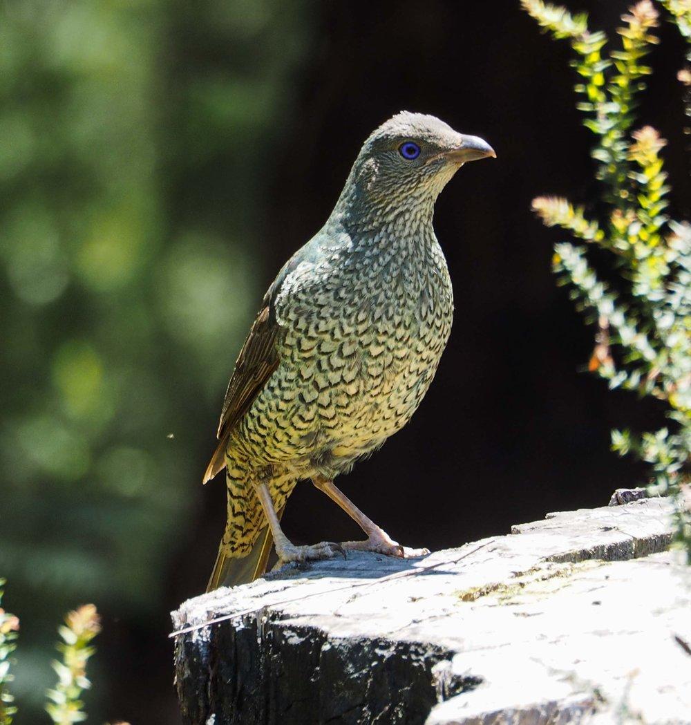 Satin Bowerbird (juvenile)