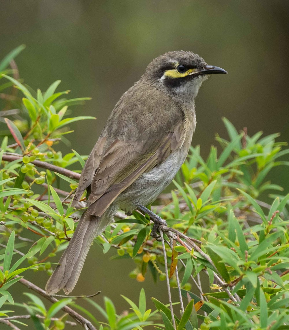 Yellow-faced Honeyeater (juvenile)