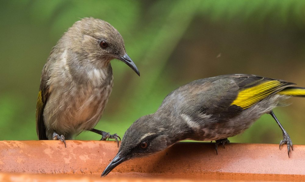 Crescent Honeyeaters (female & male)