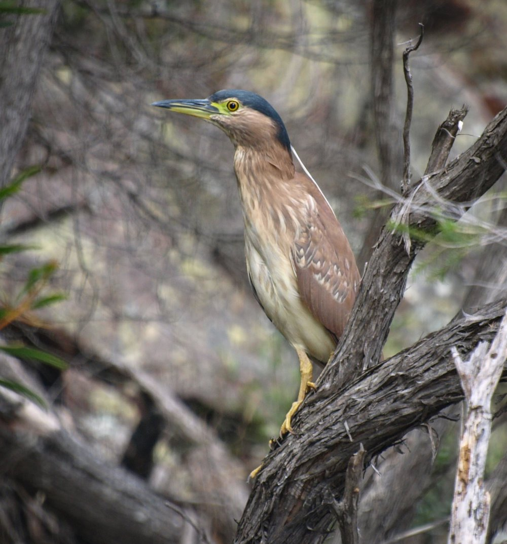 Nankeen Night-Heron (immature, about 1 yr)