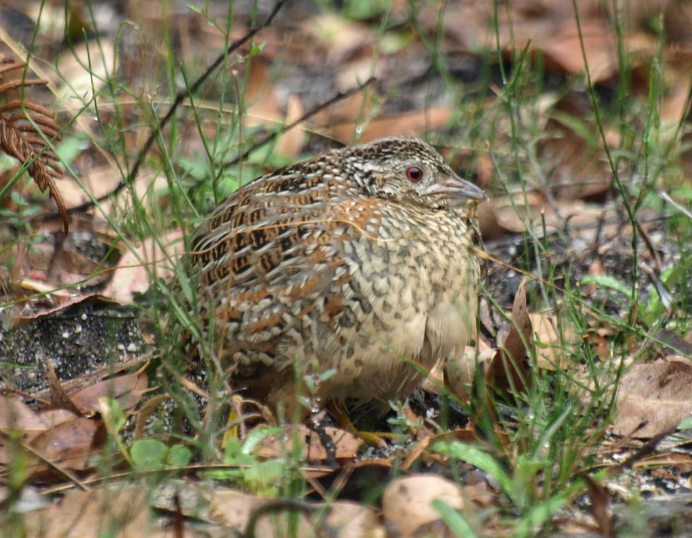 Painted Button-quail (male)