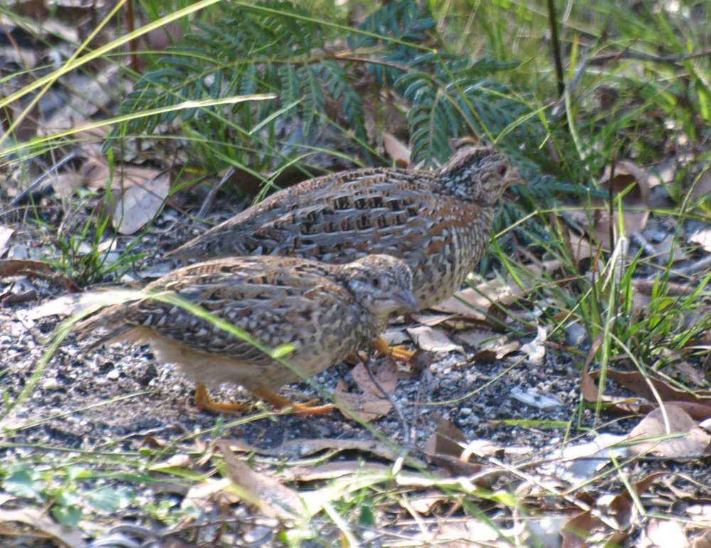 Painted Button-quail (adult male with chick)