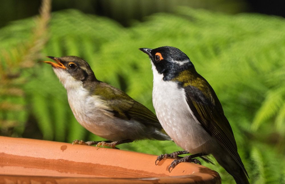 White-naped Honeyeaters (adult & fledgling)