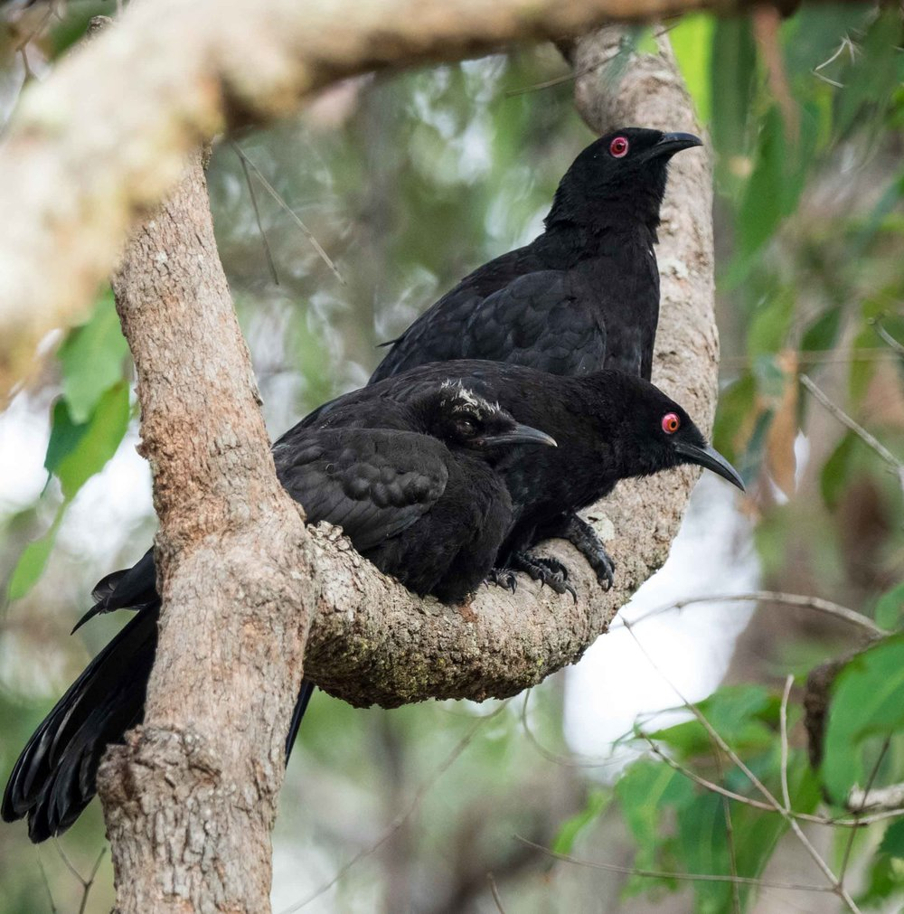 White-winged Chough (fledgling & adults)