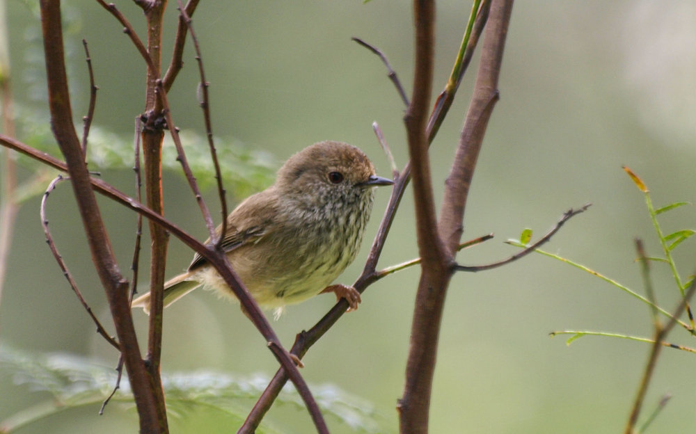 Brown Thornbill in an  A. terminalis  bush