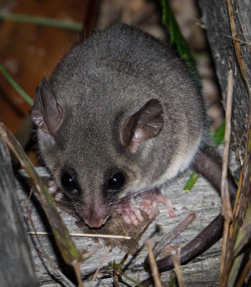 Eastern Pygmy-possum