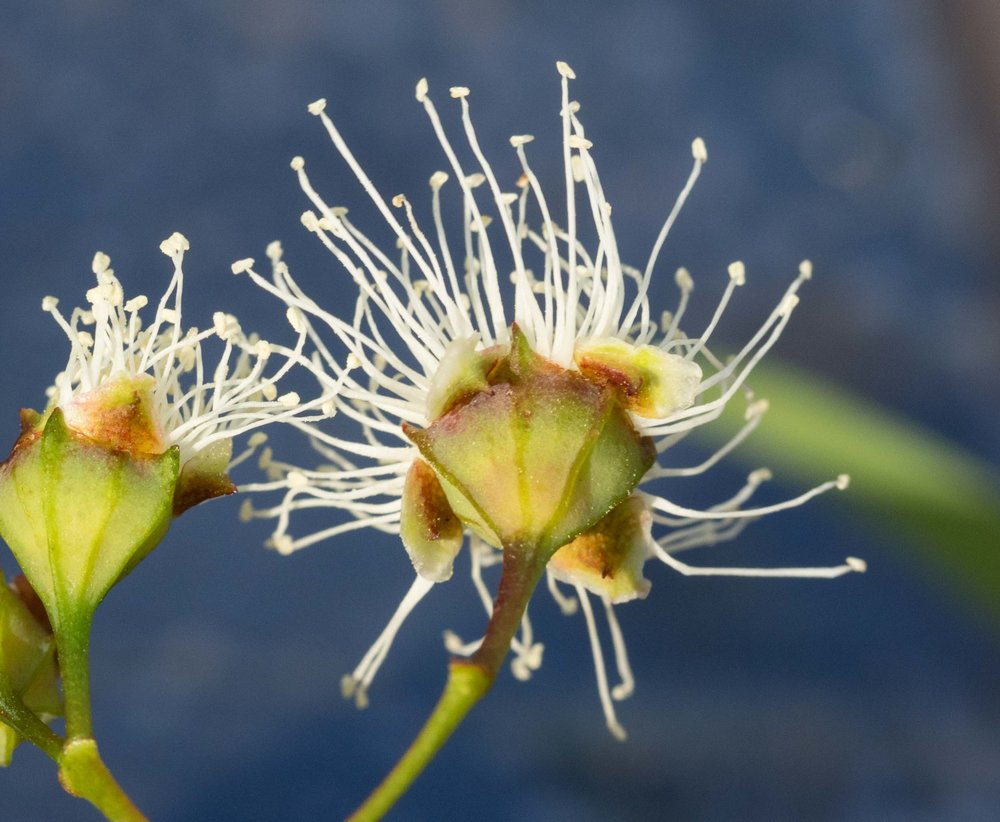 Angophora  flowers have petals (white above, greenish-brown beneath) and sepals (green triangular structures in between petals).