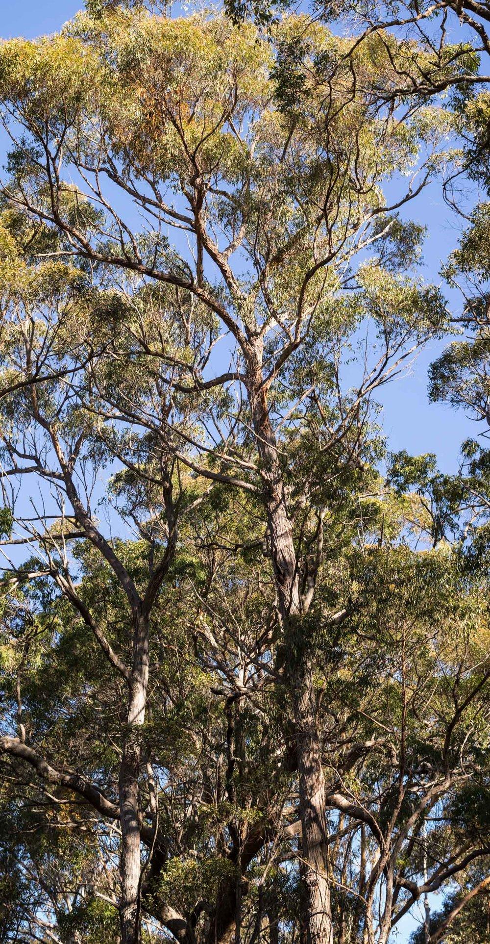 Eucalyptus globoidea