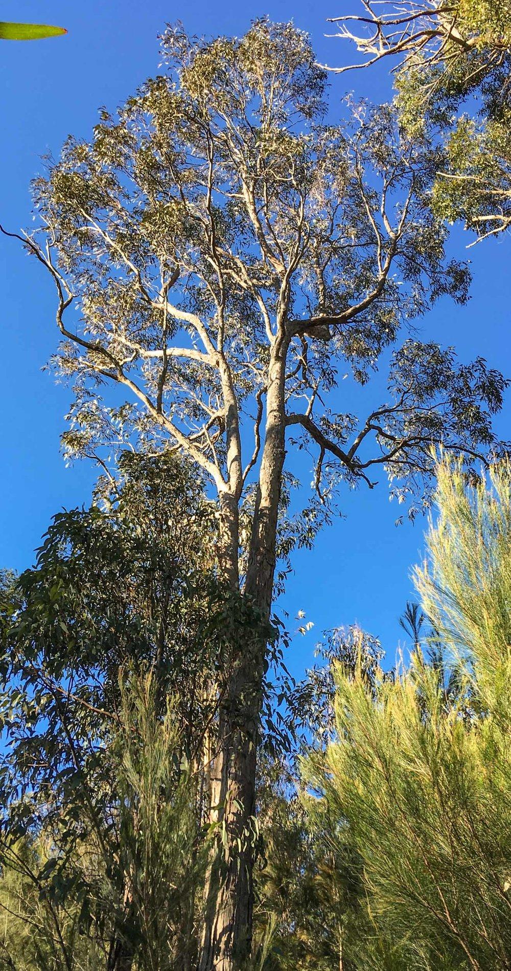 Eucalyptus longifolia