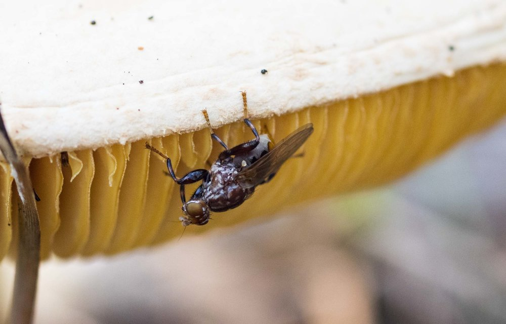 A female fungus fly checking out the gills of this mushroom as a potential site to lay her eggs.