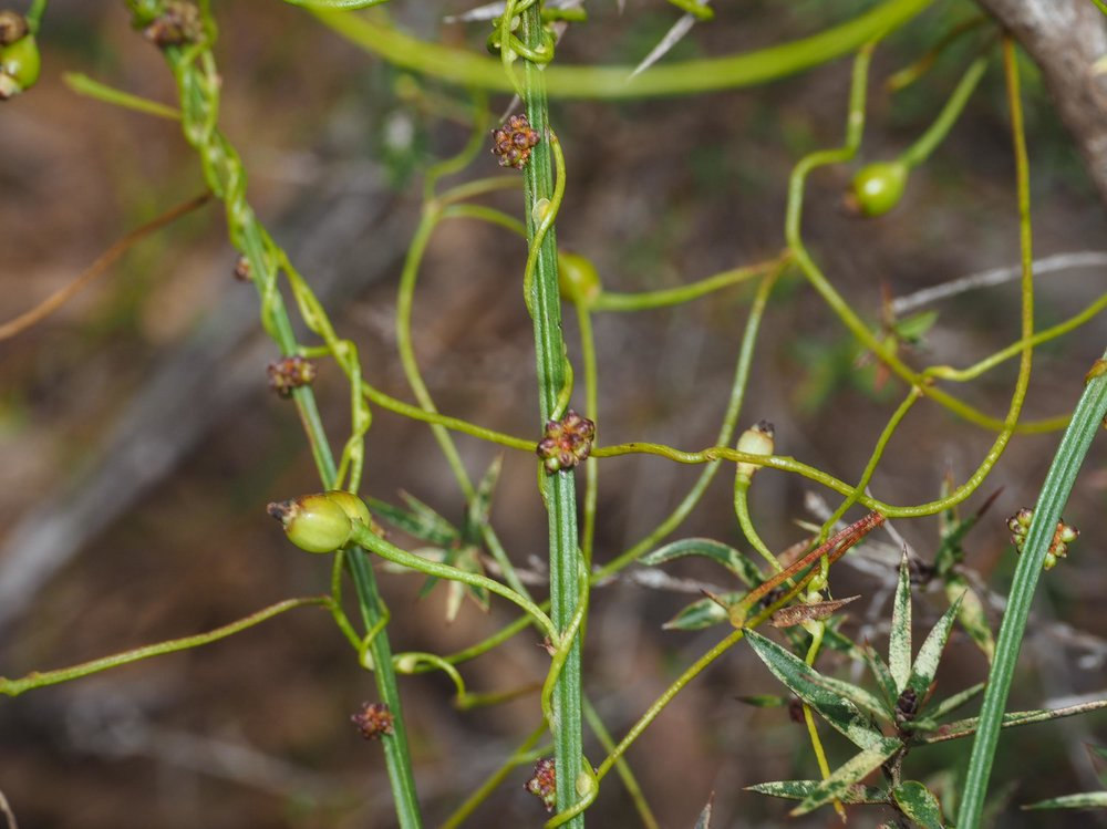 Typical growth habit of  Cassytha  - twining around the stems of  Amperea xiphoclada , the Broom Spurge.