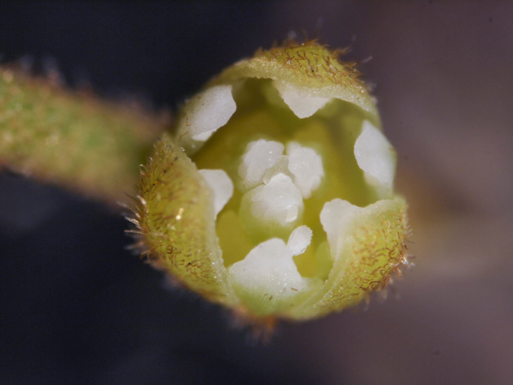A close look at one of the tiny opened  Cassytha  flowers.