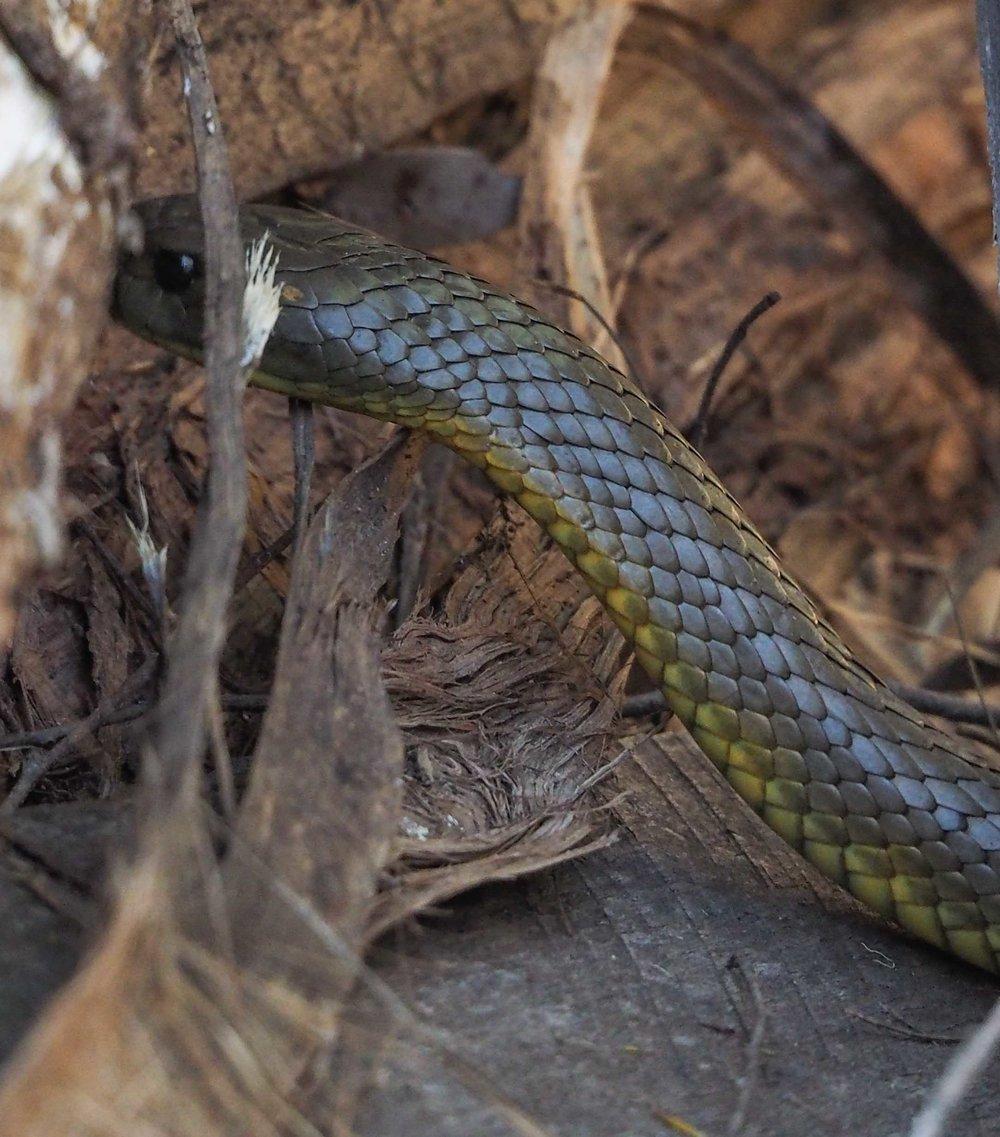 Tiger Snake - shot 2