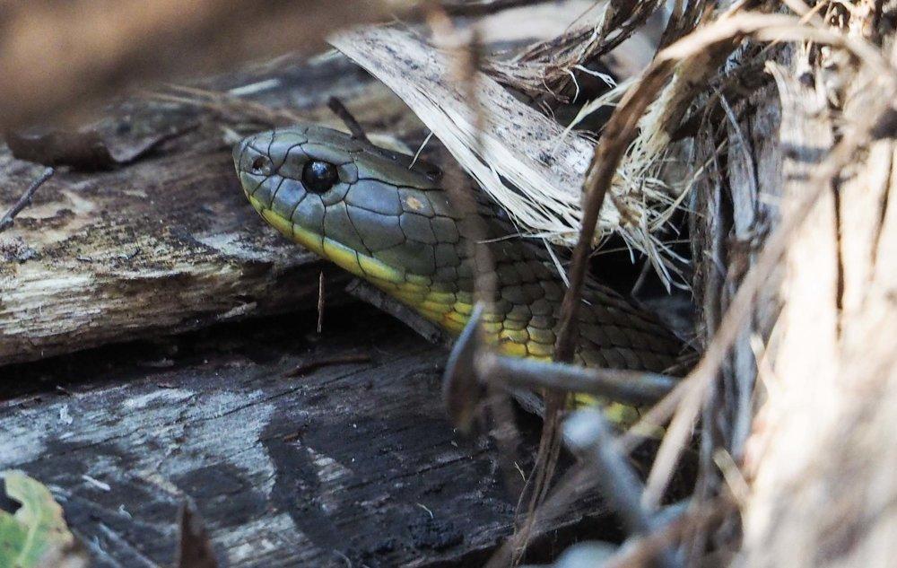 Tiger Snake - shot 1