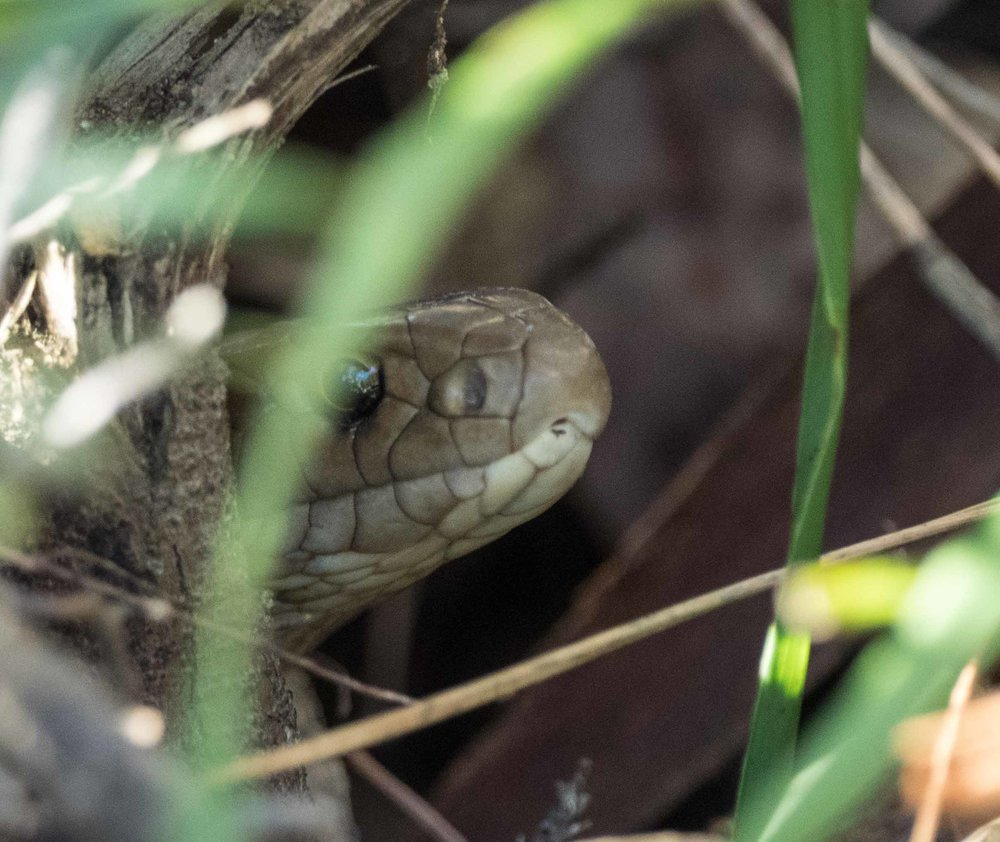 Eastern Brown Snake - shot 1