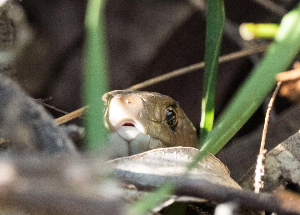 Eastern Brown Snake - shot 2