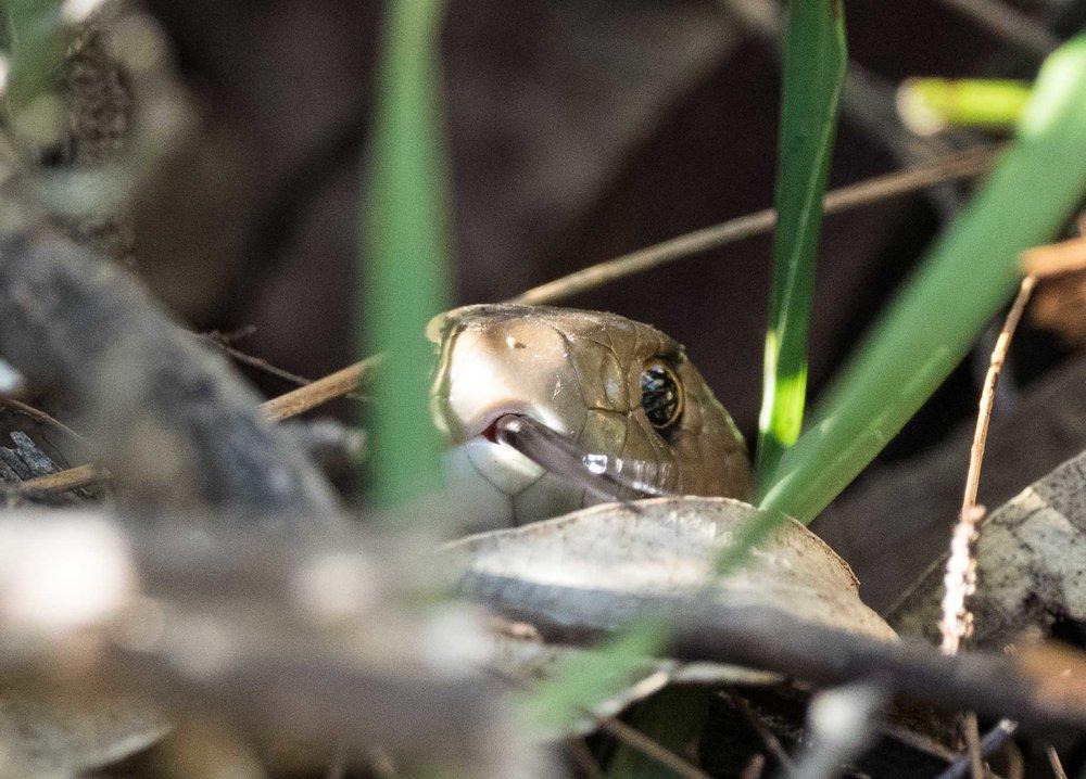 Eastern Brown Snake - shot 3