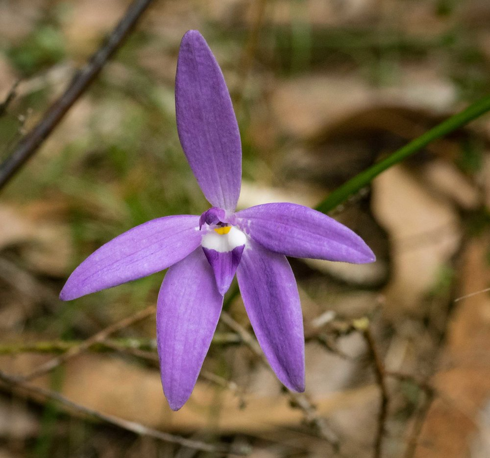 Wax-lip Orchid