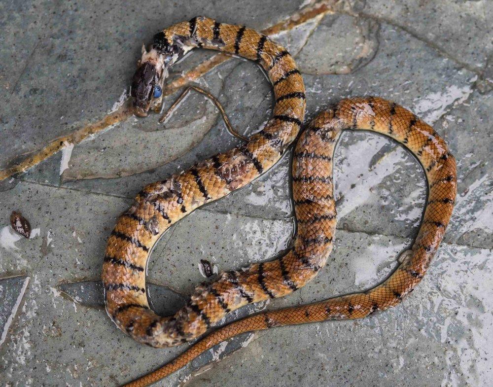 Eastern Brown Snake - juvenile (dead)